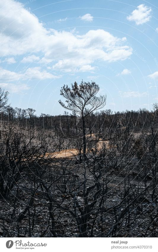 Path through charred trees and scrubland after forest fire Forest fire Nature Tree Fire Environment Exterior shot Deserted Landscape Blaze Burnt Gray Black