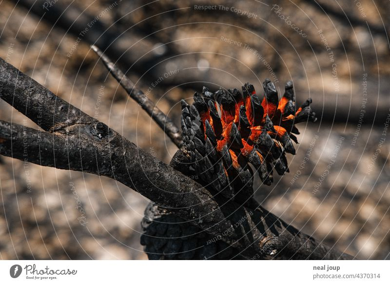 Charred pine cone after forest fire Forest fire Nature Tree Fire Environment Exterior shot Deserted Landscape Blaze Burnt Gray Black Blue sky Wood Hot ardor