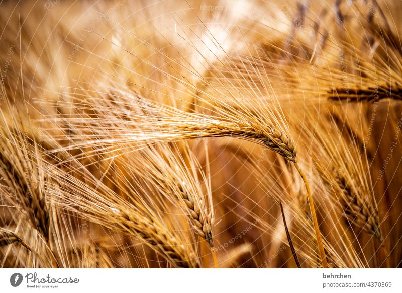 caress the grain with your hand. gently tickle the ears. what remains is a smile. spike Field Grain Summer Grain field Barley Rye Wheat Oats Agriculture Nature