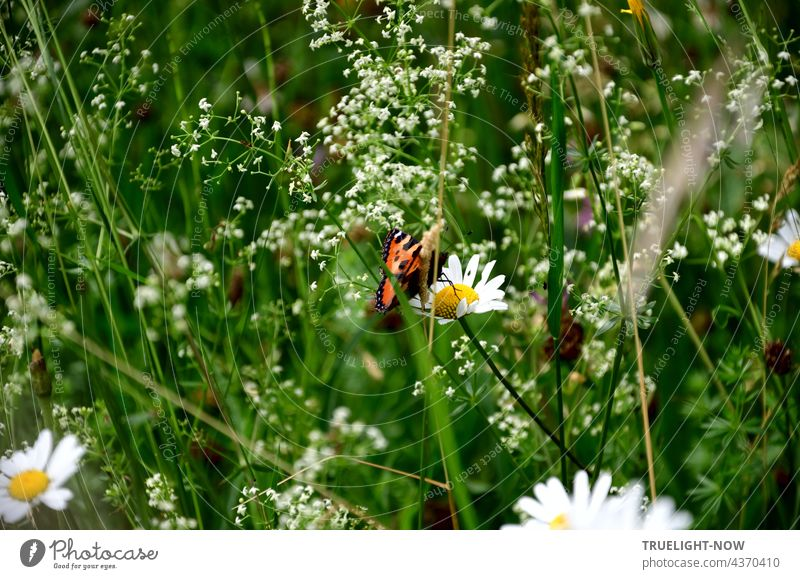 In a natural Bavarian meadow, delicate white flowers and the grass have grown tall and a colorful butterfly sits in the middle of them on a daisy blossom Meadow
