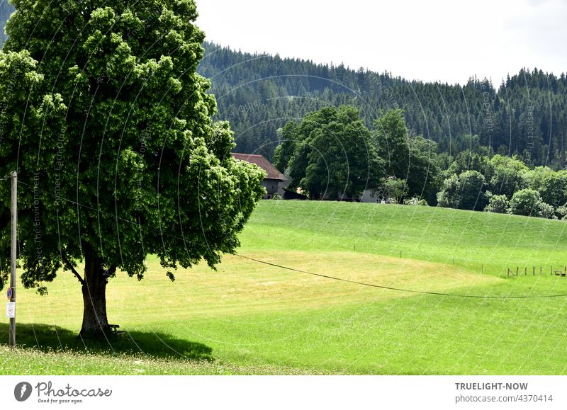 At the edge of the native village the view falls on meadows, pastures, a harvested field and in the foreground a splendid lime tree, which communicates with the trees and bushes of a farmstead and the fir forest in the background.