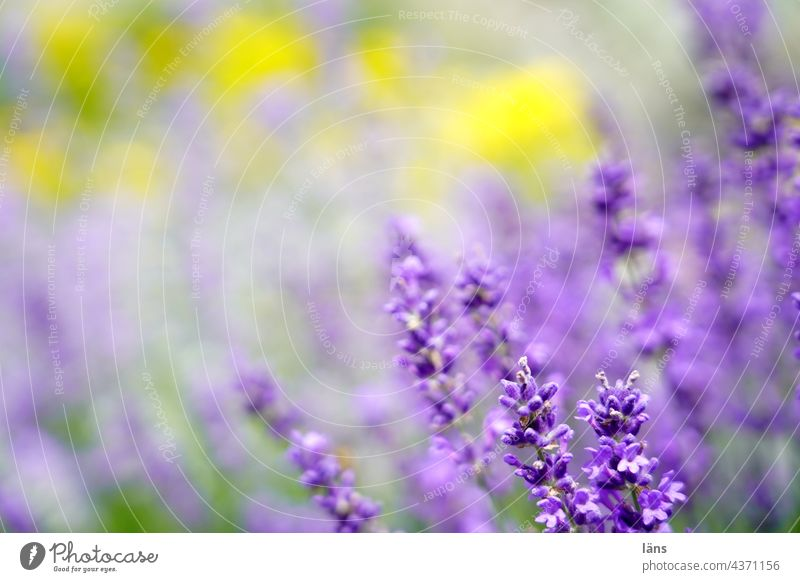 lavender Lavender Blossoming Violet Medicinal plant Fragrance Flower Summer Colour photo Shallow depth of field Garden Close-up Plant naturally blurriness