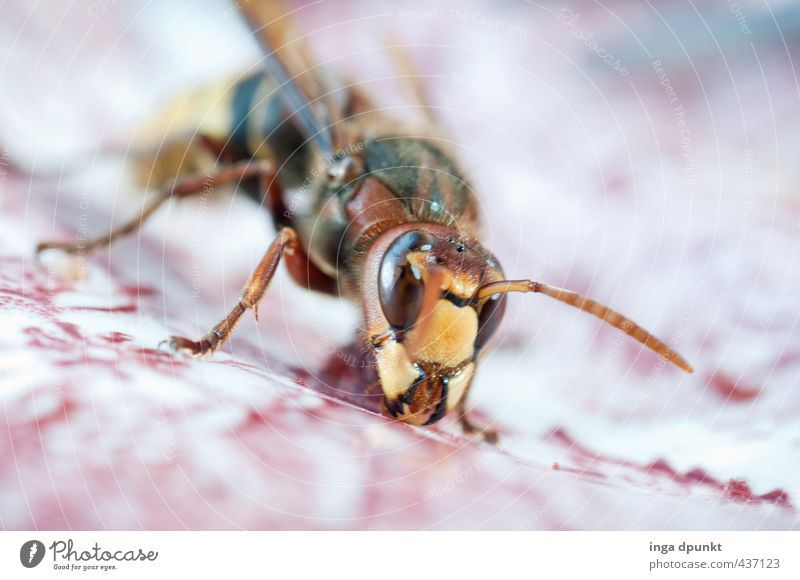 hornet visit Environment Nature Animal Wild animal Insect Hornet Wasps 1 To feed Crawl Environmental protection Macro (Extreme close-up) Colour photo