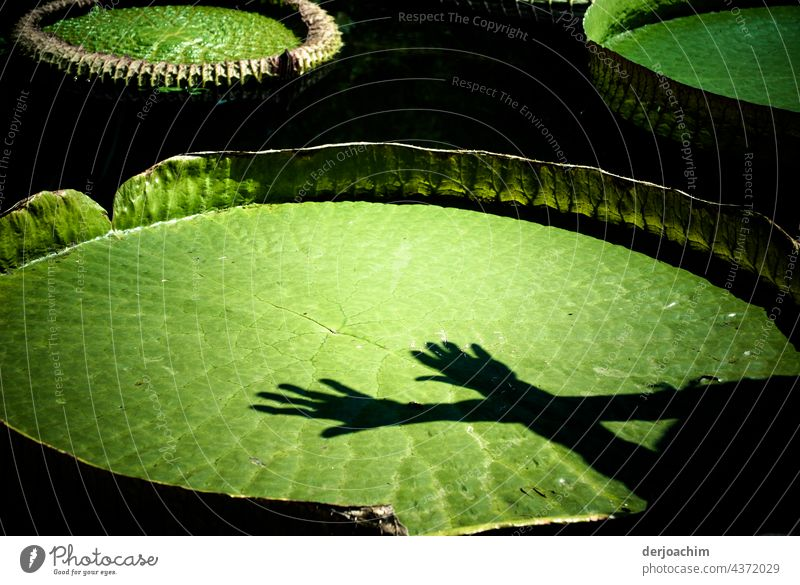 Giant water lily with two hands lying crosswise, with shadows in the sunlight. Water lily Nature Colour photo Exterior shot Pond Plant Deserted Leaf Blossom Day