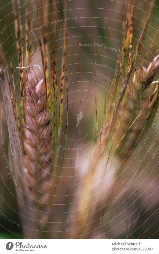Close-up of grain (barley) Grain Cornfield Barley Barley ear Ear of corn spike Field Agriculture Nature Grain field Agricultural crop Summer