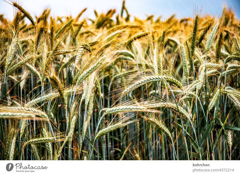 VALUABLE Colour photo Ecological Awn Nutrition Deserted Harvest Landscape Exterior shot Environment Agriculture Agricultural crop idyllically Idyll Plant Food
