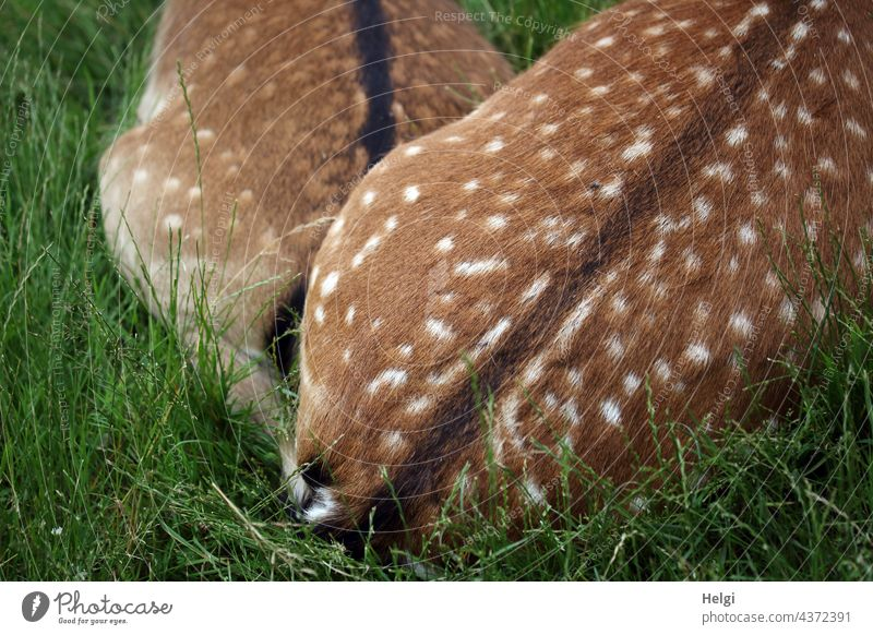 very close - two dams are lying on a meadow cuddled up close to each other, only the hind parts are visible Fallow deer Velvet Animal Meadow Cuddling