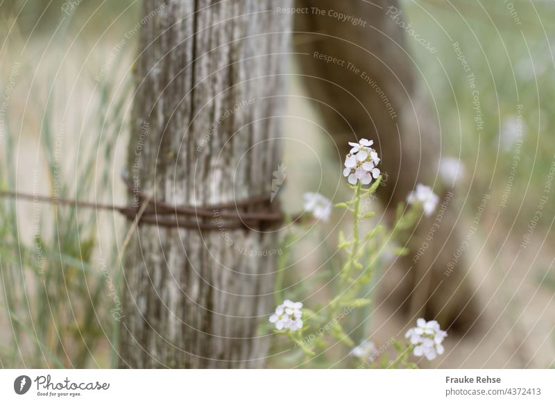White flowers of the beach rocket (Cakile maritima) next to a fence made of wood and rusty wire Beach Ruff Cacile maritima Blossom duene Fence Sea Mustard