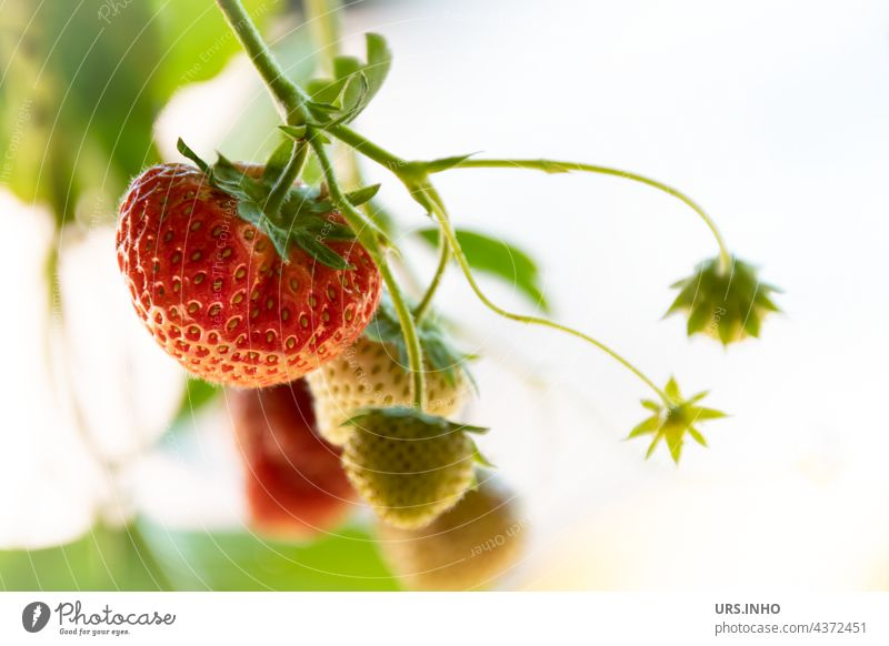 the delicious strawberries are soon ripe fruit Strawberry Fruit Tire Fresh Fruity Food Vitamin Vitamin-rich Organic produce Colour photo cute Delicious