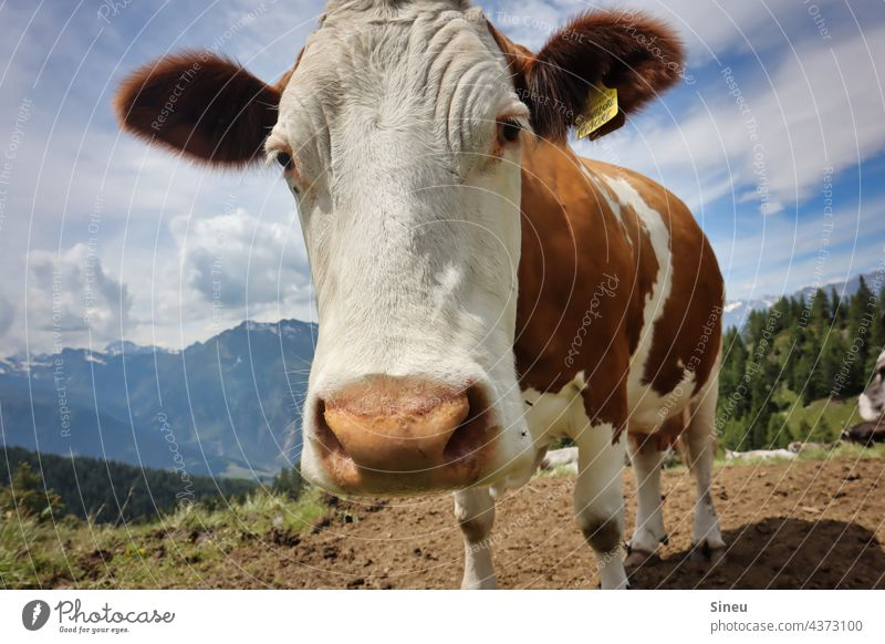 Curious cow Cow Cattle Animal happy cow Farm animal Cattle farming Cattle breeding Livestock breeding Willow tree Meadow Alpine pasture alpine meadow
