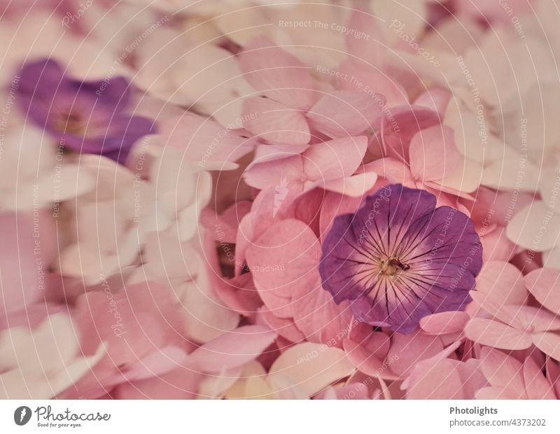 Garden flower potpourri of hydrangeas and cranesbill. garden flowers Potpourri storchenschnabel Pink White Violet pink pastel Pastel tone Nature Flower Blossom