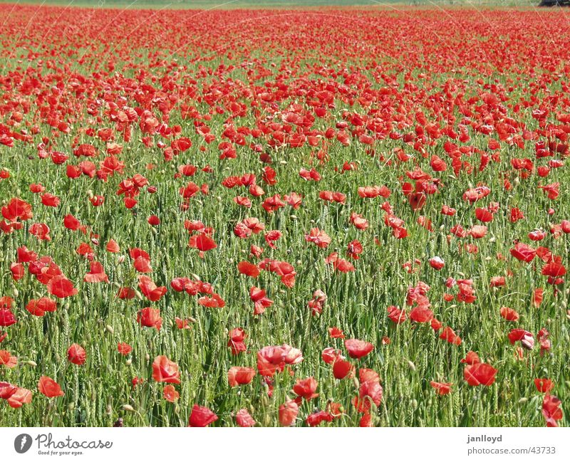 Flower Green Red Graffiti Field Poppy