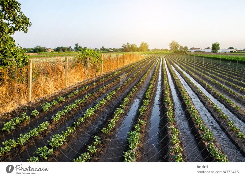 Abundant watering the potato plantation through irrigation canals. Surface irrigation of crops. European farming. Agronomy. Water flow control. Moistening. Agriculture and agribusiness.