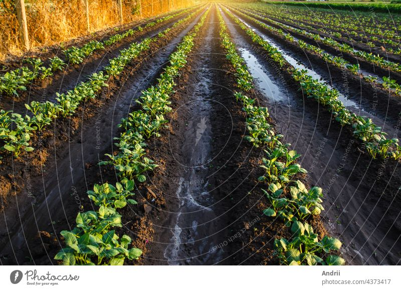 Wet soil on a potato plantation in the early morning. Rain and precipitation. Surface irrigation of crops on plantation. Agriculture and agribusiness. Growing vegetables outdoors on open ground field.