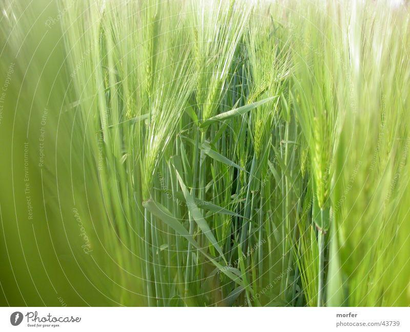 meadow Field Meadow Blade of grass Rye Green Grain