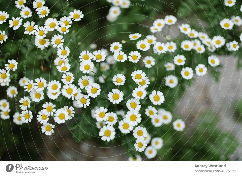 wild daisy flowers growing next to a stream california campground camping floral growth idyllwild life mount mountains nature perspective plant plants river