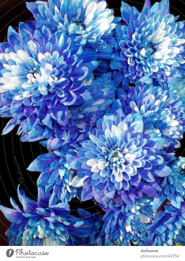 royal flora Flower White Macro (Extreme close-up) Plant Leaf Blue