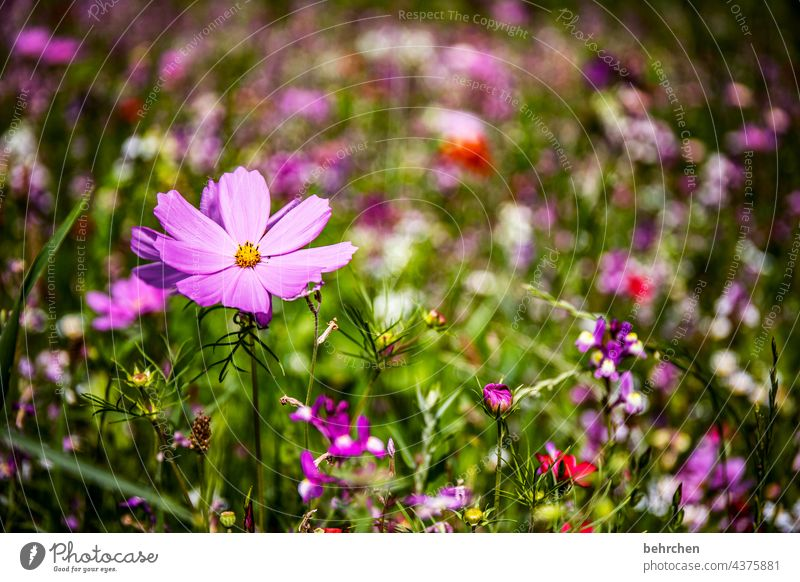 little flowers Seasons Summery Spring Cosmea Nature Landscape Plant Flower Grass Leaf Blossom Wild plant Garden Park Meadow Blossoming Growth Fragrance pretty
