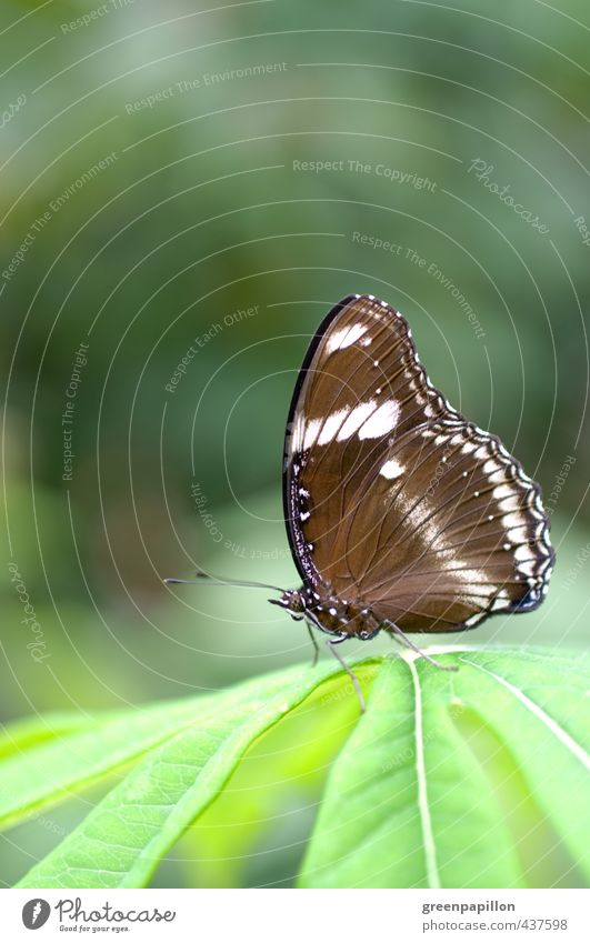 Hypolimnas bolina - Large or common egg fly Environment Nature Animal Plant Leaf Exotic Virgin forest Butterfly Zoo Brown Green Wellness Tropical greenhouse