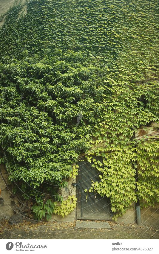 green Ivy Wall (building) Wall (barrier) Exterior shot Plant Green Foliage plant Growth Tendril Bushes Creeper Overgrown Facade Wild plant Deserted