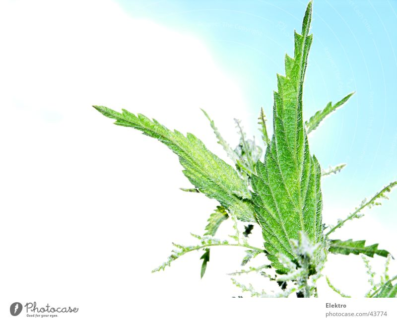 Urtica Stinging nettle Summer Medicinal plant Weed Nettle leaf Bright background Isolated Image Copy Space left