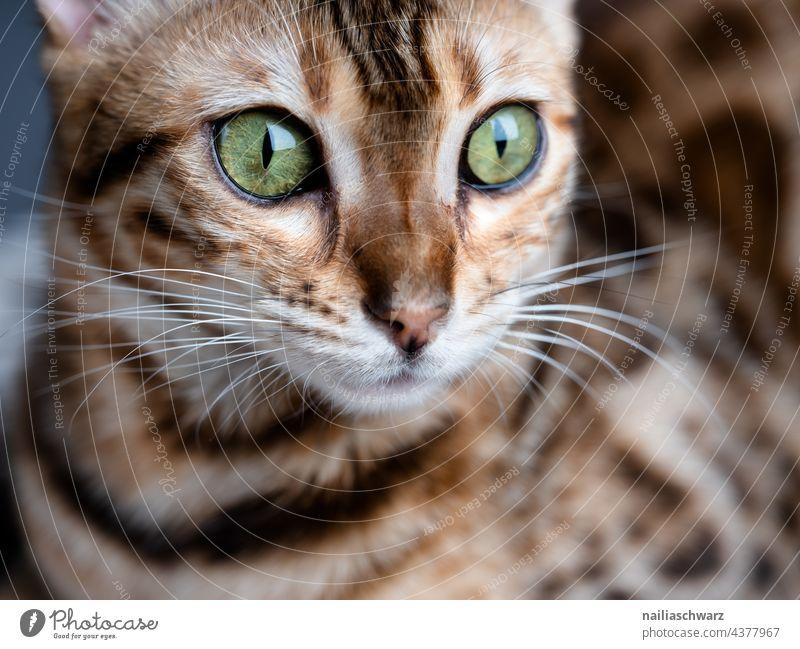 Bengal cat Olivia Forward Close-up Studio shot Colour photo Elegant Love of animals Peaceful Interest Trust Joy Brown Curiosity Cute pretty Soft Brash Wait
