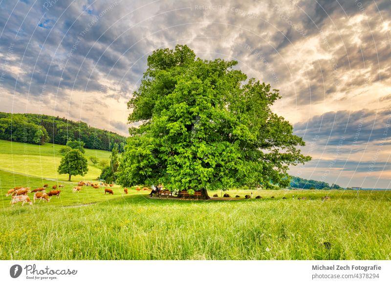 Swiss landmark, the linden tree in Linn landscape field blue outdoor countryside nature natural green sky meadow grass beautiful spring linn summer scenery