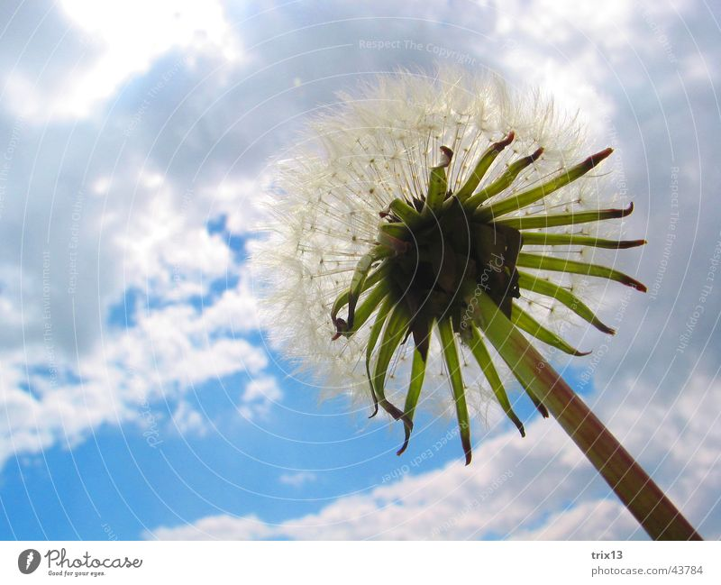 dandelion Dandelion Blade of grass Green Gray Flower Clouds Bad weather Plant Infinity foliose flower Sky Blue Life Freedom Above
