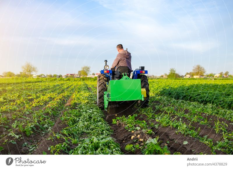 Farmer digs out a crop of potatoes. Harvest first potatoes in early spring. Farming and farmland. Agro industry and agribusiness. Support for farms. Harvesting mechanization in developing countries.
