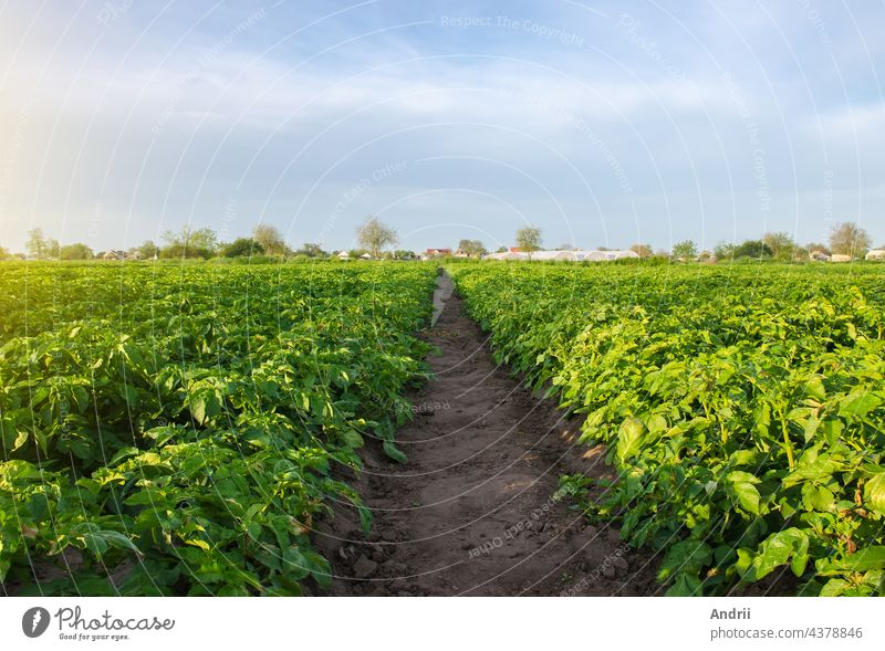A path between rows of potato bushes in a farm field. Growing food vegetables. Olericulture. Agriculture farming on open ground. Agroindustry. Cultivation. Organization of plantation in the field.