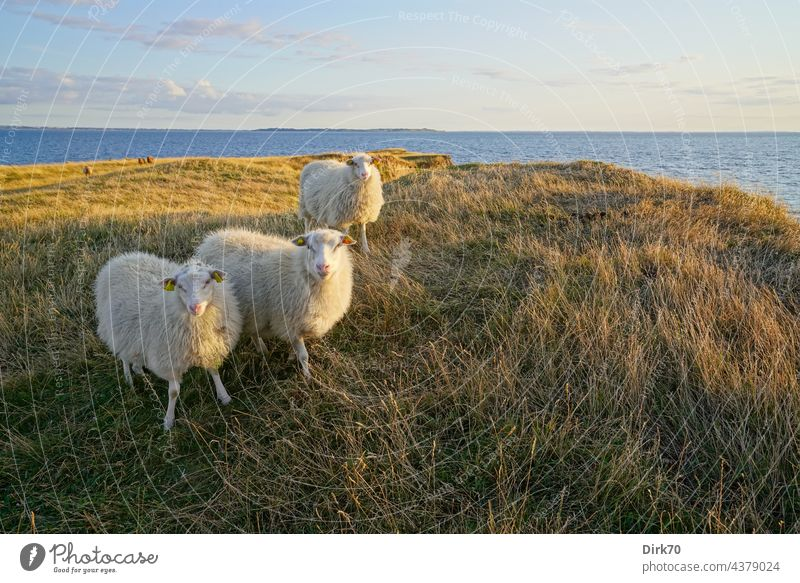 Sheep on the Danish peninsula Ordrup Næs on Zealand Baltic Sea Denmark Flock sheep Nature Farm animal Herd Meadow Landscape Group of animals Exterior shot Wool