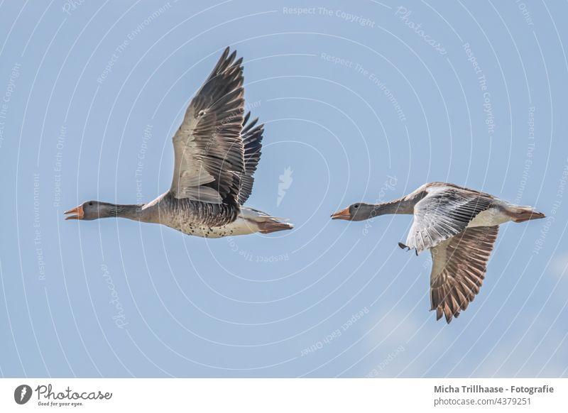Flying grey geese Anser anser wild geese Head Beak Eyes Neck feathers plumage Grand piano Legs flapping Span flight sunshine birds Wild Birds animals Wildlife