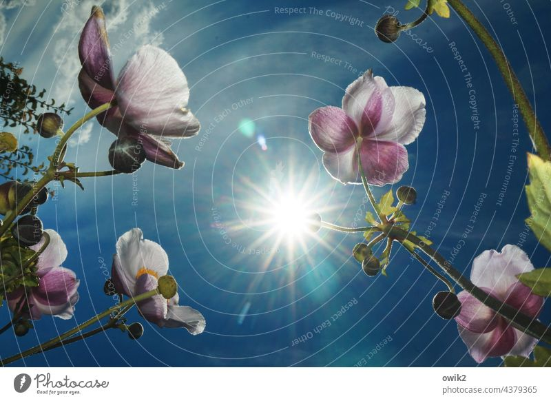 Sunny Chinese Anemone Exterior shot petals Pistil Stalk Light Illuminate Multicoloured Copy Space middle Delicate Harmonious Leaf Back-light Brilliant Ambitious