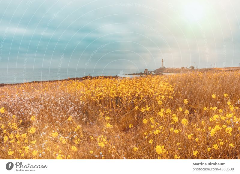 Blooming meadow with wildflowers in front of the Pigeon Point lighthouse, California pacific pigeon point architecture beach spring blooming beacon beam blue