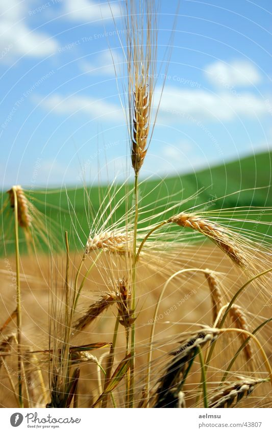 Summer Clouds Field Grain Harvest Blade of grass Ear of corn Barley