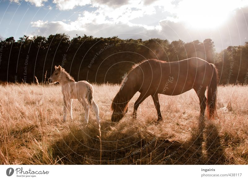 animal child Nature Landscape Plant Animal Sky Clouds Sun Summer Tree Grass Pasture Farm animal Horse Iceland Pony Foal 2 Baby animal To feed Stand Free