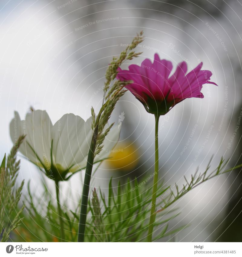 pink and white cosmea flower in a flower meadow Flower Blossom Cosmea Cosmos blade of grass Back-light Flower meadow Flowering meadow Park Nature Environment