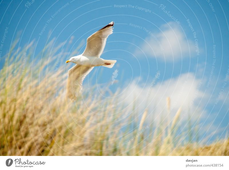 low-flying aircraft Environment Nature Sky Summer Beautiful weather Grass Coast North Sea Seagull 1 Animal Flying Threat Self-confident Willpower Brave