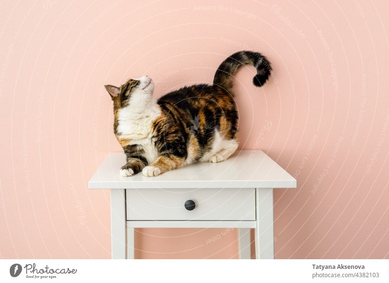 Cat on bedside table near pink wall pet cat feline calico indoor animal calico cat fur domestic animals cute portrait white no people domestic cat one animal