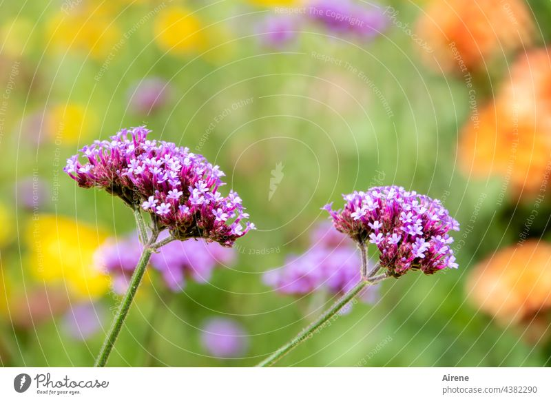 Summer park flowers - present themselves brightly - not wondering how long verbena blossoms Plant Flower Blossoming Meadow flower Growth Day Nature