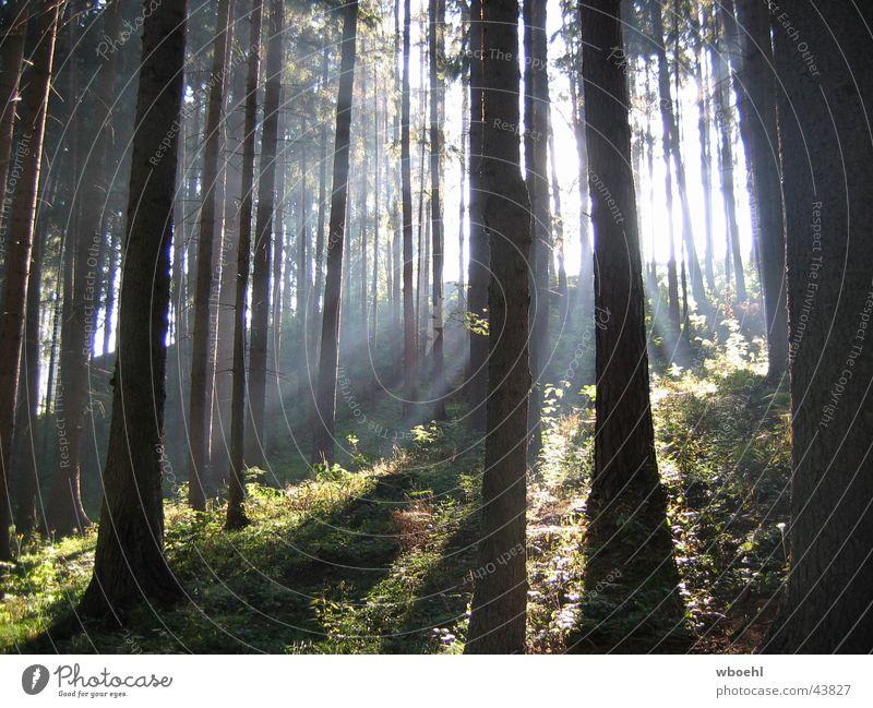 Ray of Light Forest Green Friendliness Summer Sun