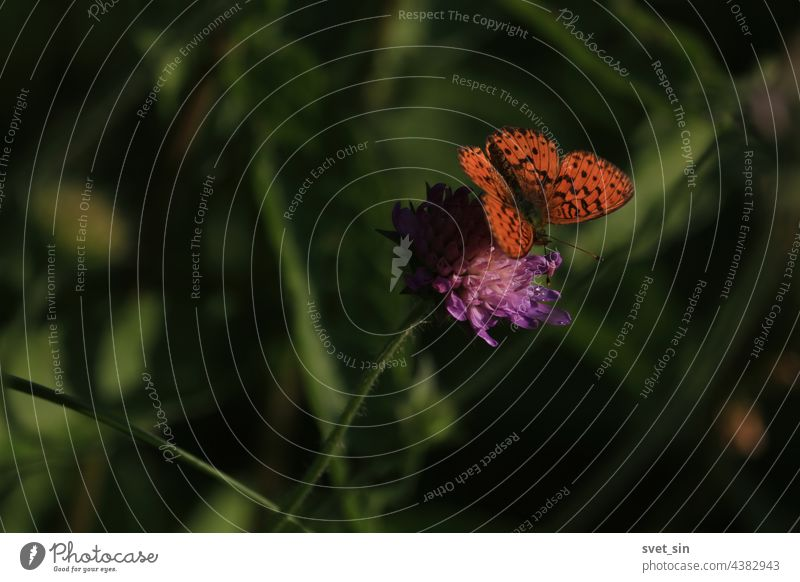 Brenthis ino, Lesser Marbled Fritillary. Knautia arvensis, Field Scabious. Orange butterfly is sitting on purple flower in sunlight. Orange and black butterfly with spread wings. Copy space.