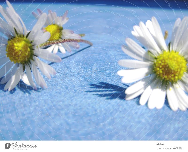 Nature Flower Blue Plant Summer Yellow Fresh Daisy