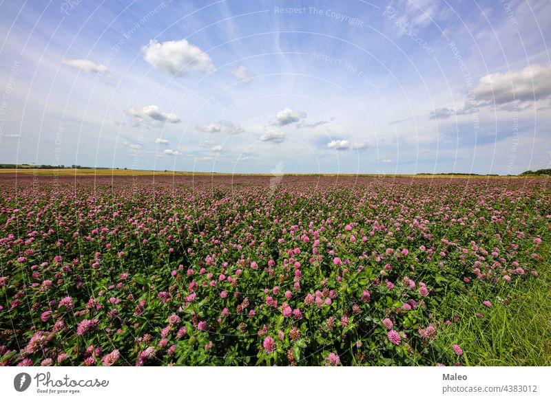 Summer landscape with a field of flowering pink clover summer blossom green meadow nature spring beautiful grass leaf plant rural blooming petal red beauty