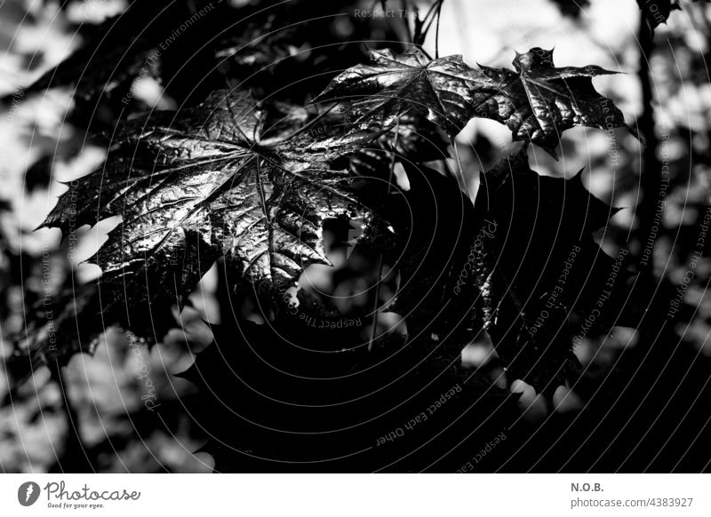 Wet maple leaves in black and white Black & white photo Tree Leaf wet Maple tree Maple leaf black-and-white Exterior shot Nature Deserted Rich in contrast