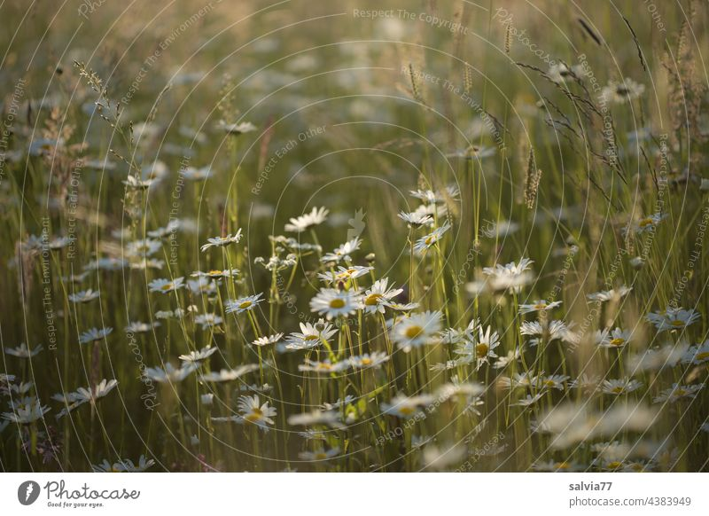 Marguerite meadow in the evening light daisy meadow Flower meadow Summer Meadow Nature Blossoming Colour photo Plant Fragrance White Deserted