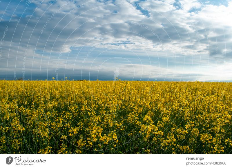 View of a rapeseed field. Yellow flowers against the blue sky. 2014 Ortisoara Romania agricultural agriculture background bloom blooming blossom canola cloud