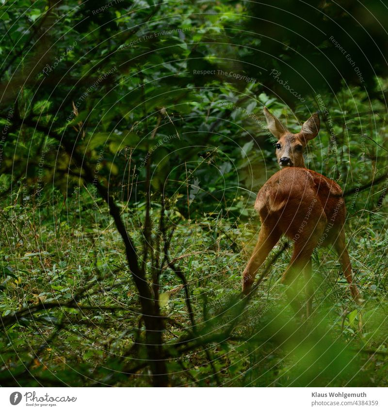Female deer in a forest clearing at dawn Roe deer Forest Nature Colour photo Environment Exterior shot Deserted Observe Animal portrait Wild animal Grass Green