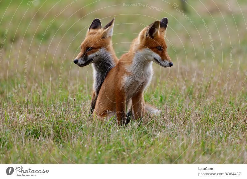 Two young foxes keep a lookout into the distance on the dyke in Zingst Fox Foxes Pair of foxes Nature Animal Wild animal Exterior shot Colour photo