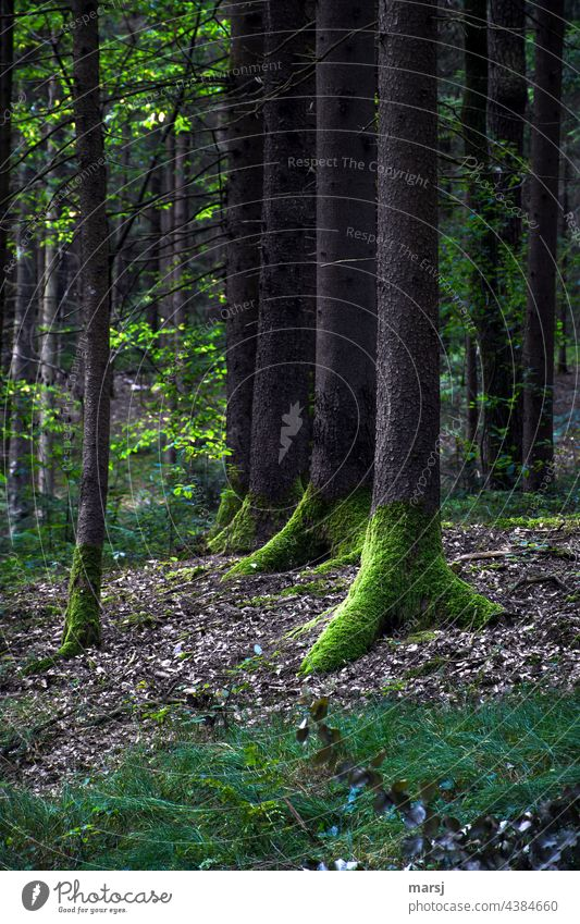 Green shoes wear the trees in the gloomy forest. In rank and file. Moss moss-covered Forest somber Nature naturally Tree Mystic in rank and file